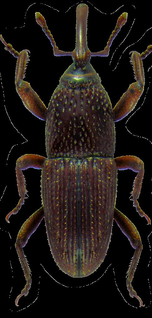 SITOPHILUS GRANARIUM 1